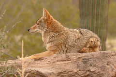 Coyote Resting On Desert Rock Royalty Free Stock Photography