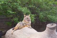 Coyote resting and looking Stock Image