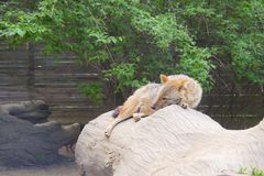 Coyote resting and looking Royalty Free Stock Photography