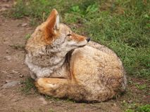 Free Coyote Resting On The Ground Stock Photography - 161127882