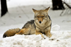 Coyote resting in snow bank,  Yosemite National Park Royalty Free Stock Photography