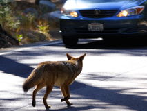 A coyote on the road. A coyote crosses the road in Yosemite National park stock photo