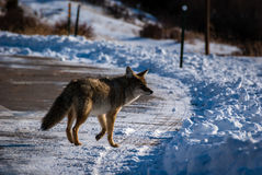 Coyote on a Road Royalty Free Stock Image