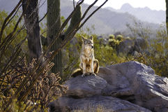 Coyote On A Rock Royalty Free Stock Photos
