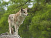 Coyote on rock searching for next meal with green trees in backg Royalty Free Stock Image