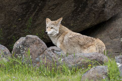 Coyote in rocks and grass during spring with flowers Royalty Free Stock Photos