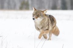 Coyote on the Run. Coyote Running in the Snow in Winter Royalty Free Stock Image