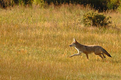 Coyote Running Stock Images