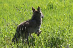 Coyote Running in a Field Royalty Free Stock Image