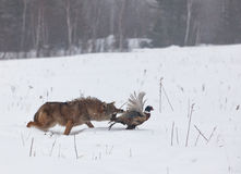 Coyote chasing pheasant. Coyote running through the snow and chasing a ring necked pheasant rooster. Soft focus on predator and prey stock images