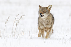 Coyote Running in Snow. Coyote in Montana Running in Snow Royalty Free Stock Photos