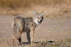 Coyote salvaje Foto de archivo libre de regalías