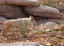 Coyote salvaje fotos de archivo