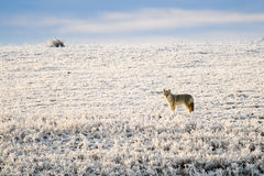 Coyote salvaje Foto de archivo