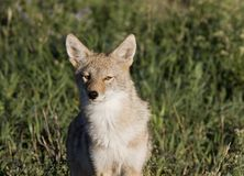 Coyote Saskatchewan Stock Image