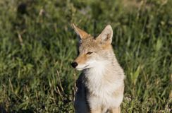 Coyote Saskatchewan Royalty Free Stock Image
