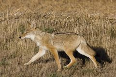 Coyote Saskatchewan Stock Images