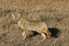 Coyote Saskatchewan Stock Photography