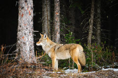 Coyote sauvage Photos libres de droits