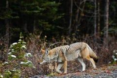 Coyote sauvage Photo libre de droits
