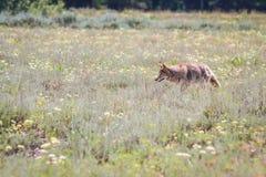 Coyote sauvage Photo stock