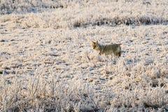Coyote sauvage Photographie stock libre de droits
