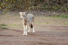 Coyote sauvage priant pour la nourriture photographie stock