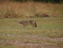 Coyote sauvage qui a voulu jouer image libre de droits