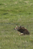 Coyote Scratching. Coyote in Pt. Reyes, hunting down a meal Stock Image