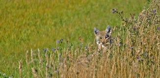 Coyote se cachant derrière l'herbe grande Photographie stock libre de droits