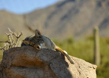Coyote se reposant sur la roche image stock