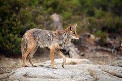 Coyote se tenant sur un grand rocher de granit avec une patte dans l'a photo stock