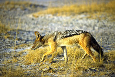 Coyote in the search Royalty Free Stock Images