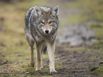 Coyote. A coyote in search of food in British Columbia Canada Royalty Free Stock Images