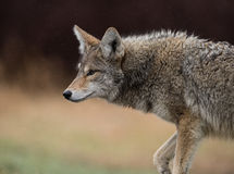 Coyote. A coyote in search of food in British Columbia Canada Stock Photos