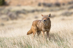 Coyote in search of food Stock Photos