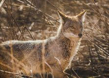 A Coyote on the prowl. stock image