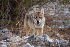 Coyote selvaggio 2 fotografie stock libere da diritti