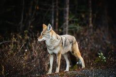 Coyote selvaggio Immagini Stock Libere da Diritti