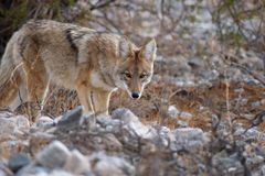 Coyote selvaggio Fotografia Stock