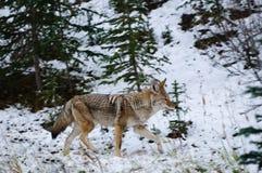 Coyote selvaggio Fotografie Stock Libere da Diritti