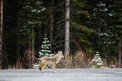 Coyote selvaggio Fotografie Stock