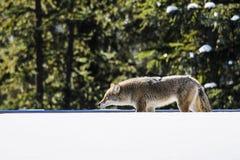 Coyote selvaggio Immagine Stock Libera da Diritti