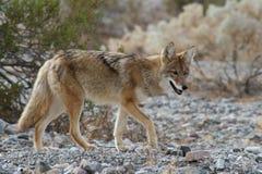 Coyote selvaggio 4 fotografia stock libera da diritti