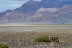 Coyote selvaggio 5 Fotografie Stock