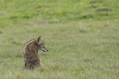 Coyote Siting Stock Photography