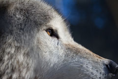 Coyote. A coyote sits keeping a watchful eye of what is happening around him Royalty Free Stock Image