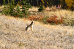 A Coyote Sitting on Dry Grass Stock Photo