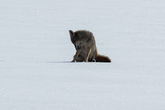 Coyote sitting on the snow Royalty Free Stock Photos