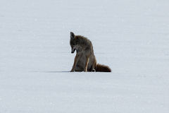 Coyote sitting on the snow Royalty Free Stock Photo